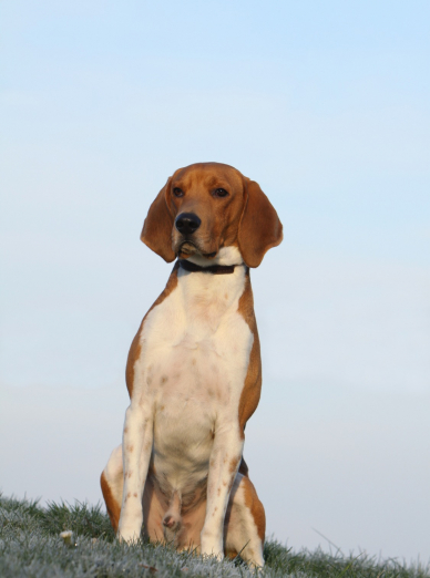 Photo : chien de race Beagle-Harrier sur Woopets