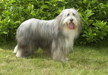 Photo : chien de race Bearded Collie sur Woopets