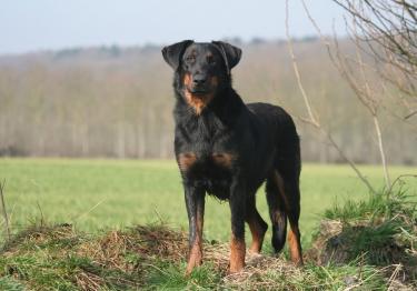 Photo : chien de race Beauceron sur Woopets