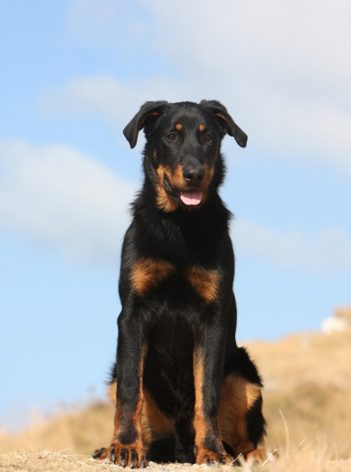 Photo : chien de race Beauceron sur Woopets