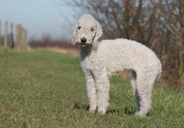 Photo : chien de race Bedlington Terrier sur Woopets