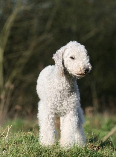 Photo : chien de race Bedlington Terrier sur Woopets