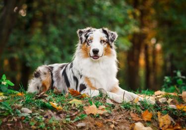 Photo : chien de race Berger Australien sur Woopets