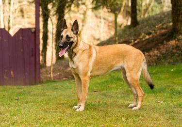 Photo : chien de race Berger Belge Malinois sur Woopets