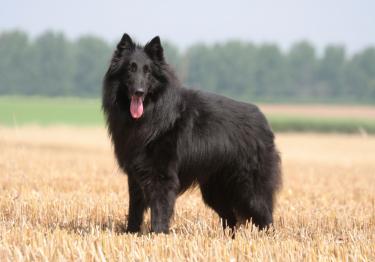 Photo : chien de race Berger Belge Groenendael sur Woopets