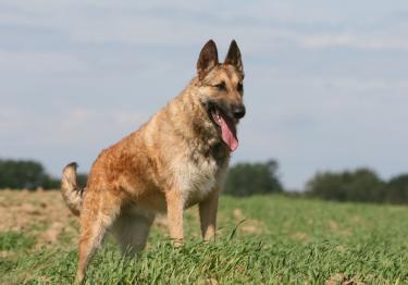Photo : chien de race Berger Belge Laekenois sur Woopets