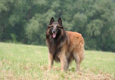 Photo : chien de race Berger Belge Tervueren sur Woopets