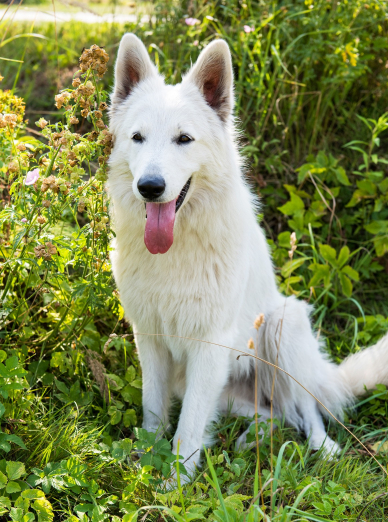 Photo : chien de race Berger Blanc Suisse sur Woopets