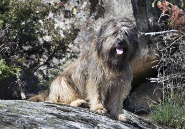 Photo : chien de race Berger Catalan sur Woopets