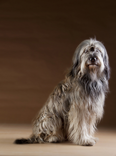 Photo : chien de race Berger Catalan sur Woopets
