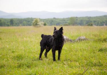 Photo : chien de race Chien de berger de Croatie sur Woopets