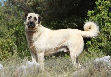 Photo : chien de race Berger d'Anatolie sur Woopets