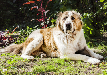 Photo : chien de race Berger d'Asie Centrale sur Woopets
