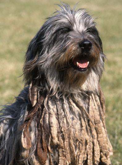 Photo : chien de race Berger de Bergame sur Woopets