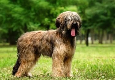 Photo : chien de race Berger de Brie sur Woopets