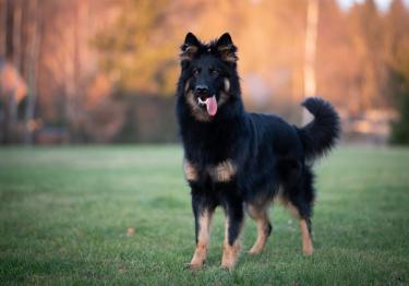 Photo : chien de race Berger de Bohême sur Woopets