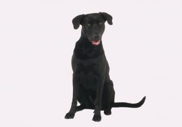 Photo : chien de race Chien de berger de Majorque sur Woopets