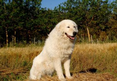 Photo : chien de race Berger de Maremme et des Abruzzes sur Woopets