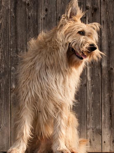 Photo : chien de race Berger de Picardie sur Woopets