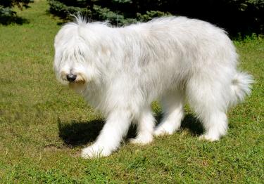 Photo : chien de race Berger de Russie sur Woopets