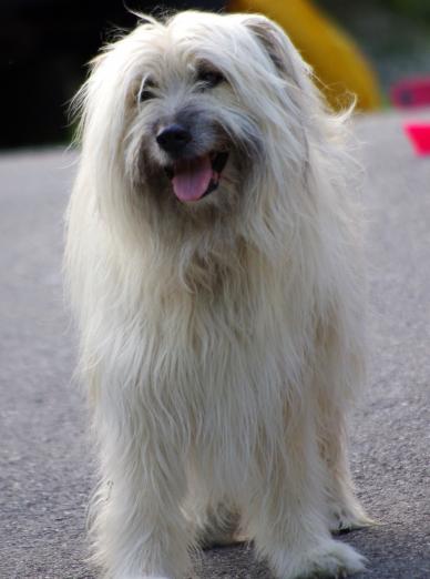 Photo : chien de race Berger des Pyrénées sur Woopets