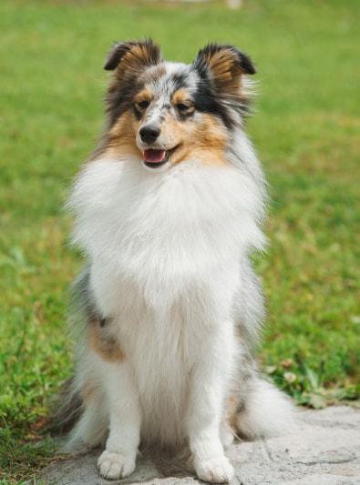 Photo : chien de race Berger des Shetland sur Woopets
