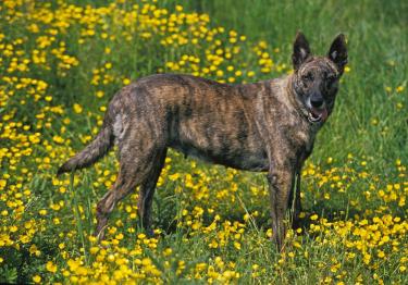 Photo : chien de race Berger Hollandais sur Woopets