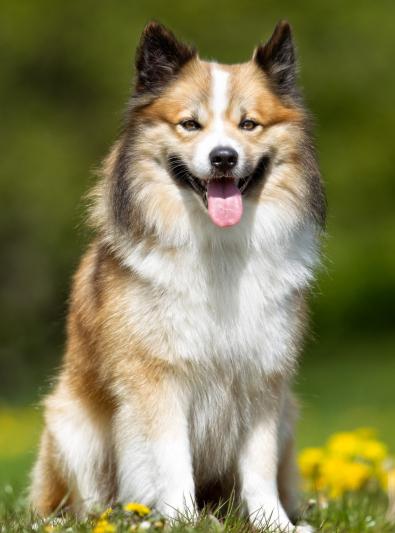 Photo : chien de race Berger Islandais sur Woopets