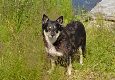 Photo : chien de race Berger finnois de Laponie sur Woopets
