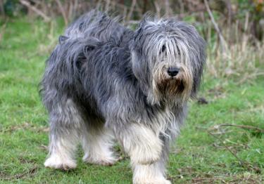 Photo : chien de race Berger Polonais de Plaine sur Woopets
