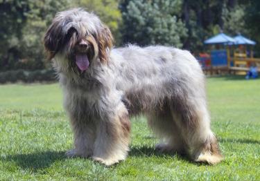 Photo : chien de race Berger Portugais sur Woopets