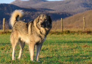 Photo : chien de race Berger Yougoslave sur Woopets