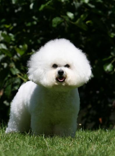 Photo : chien de race Bichon à poil frisé sur Woopets