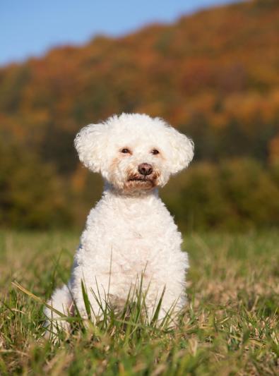 Photo : chien de race Bichon Bolonais sur Woopets