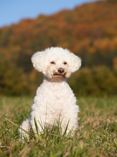 Photo : chien de race Bichon Bolonais sur Woopets