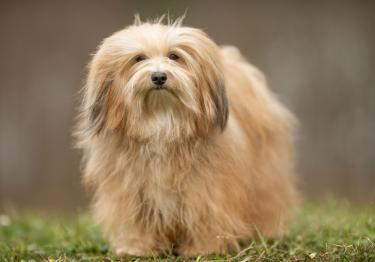 Photo : chien de race Bichon Havanais sur Woopets