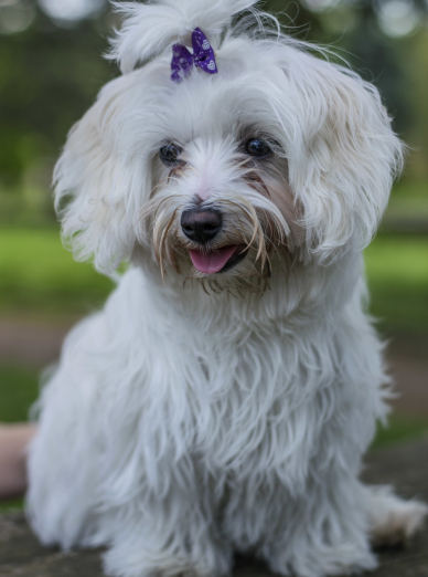 Photo : chien de race Bichon Maltais sur Woopets