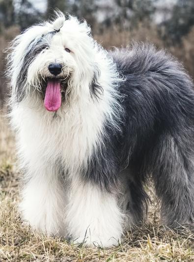 Photo : chien de race Bobtail sur Woopets
