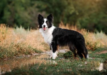 Photo : chien de race Border Collie sur Woopets