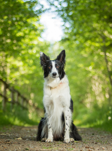 Photo : chien de race Border Collie sur Woopets