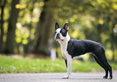 Photo : chien de race Boston Terrier sur Woopets