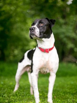 Photo : chien de race Bouledogue Américain sur Woopets