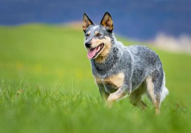 Photo : chien de race Bouvier Australien sur Woopets