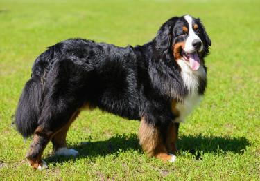 Photo : chien de race Bouvier Bernois sur Woopets