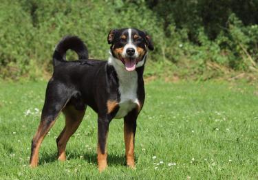 Photo : chien de race Bouvier d'Appenzell sur Woopets