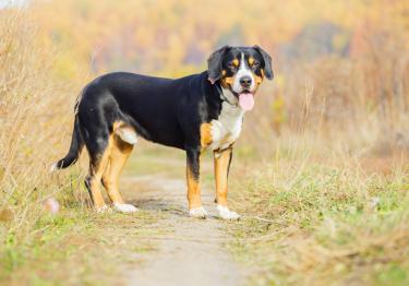 Photo : chien de race Bouvier de l'Entlebuch sur Woopets