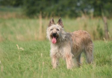 Photo : chien de race Bouvier des Ardennes sur Woopets
