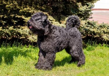 Photo : chien de race Bouvier des Flandres sur Woopets
