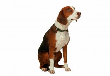 Photo : chien de race Brachet Allemand sur Woopets