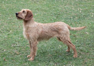 Photo : chien de race Brachet de Styrie à poil dur sur Woopets
